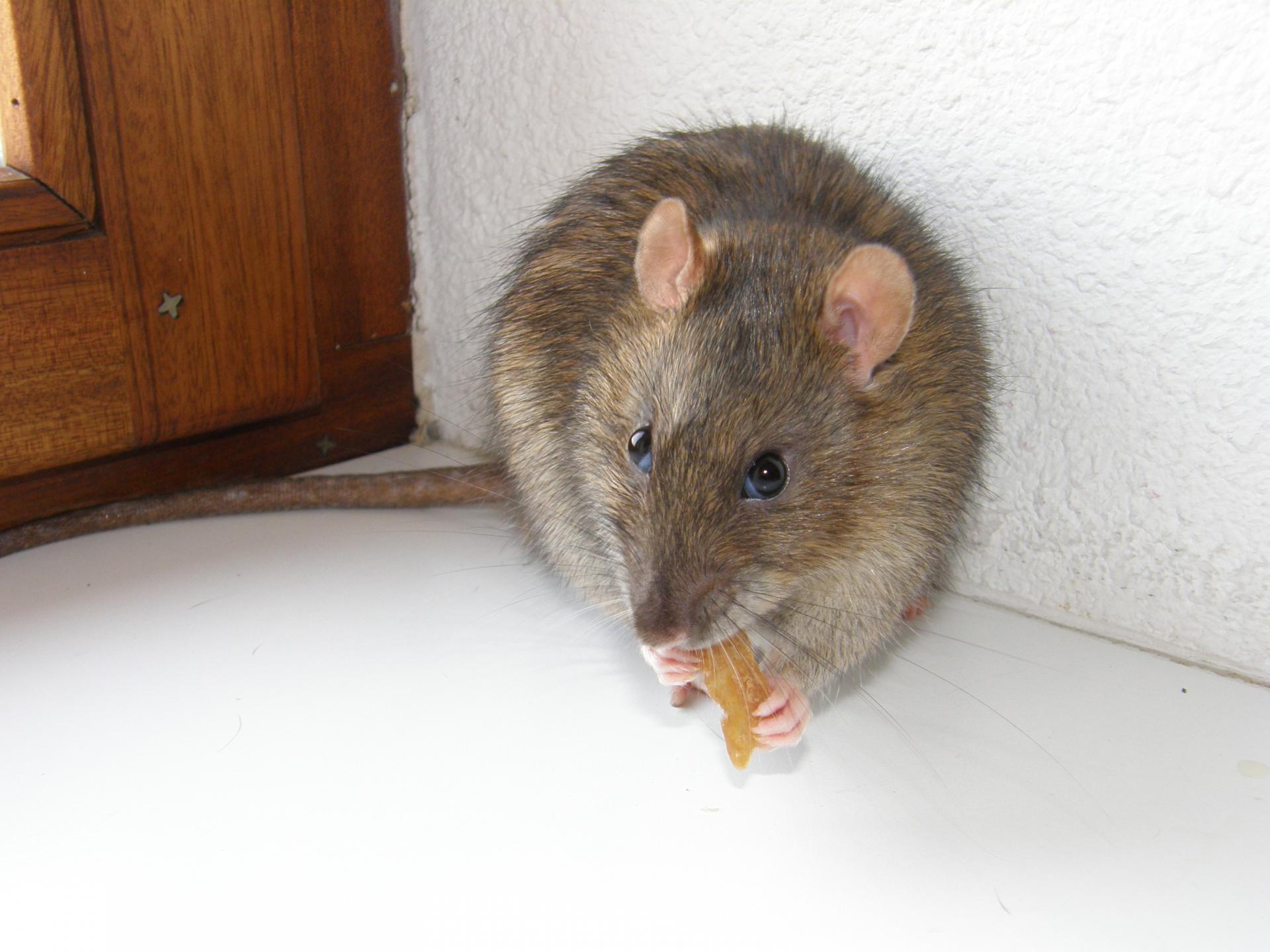Astuces pour dresser rapidement un rat
