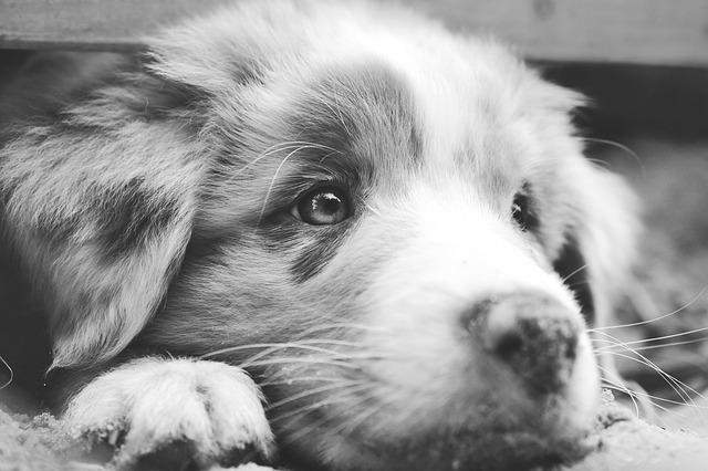 Berger Australien : découvrez cette race de chien