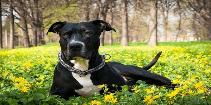 American Staff : découvrez cette race de chien