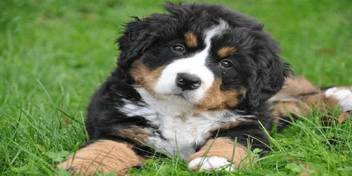 Bouvier Bernois : découvrez cette race de chien