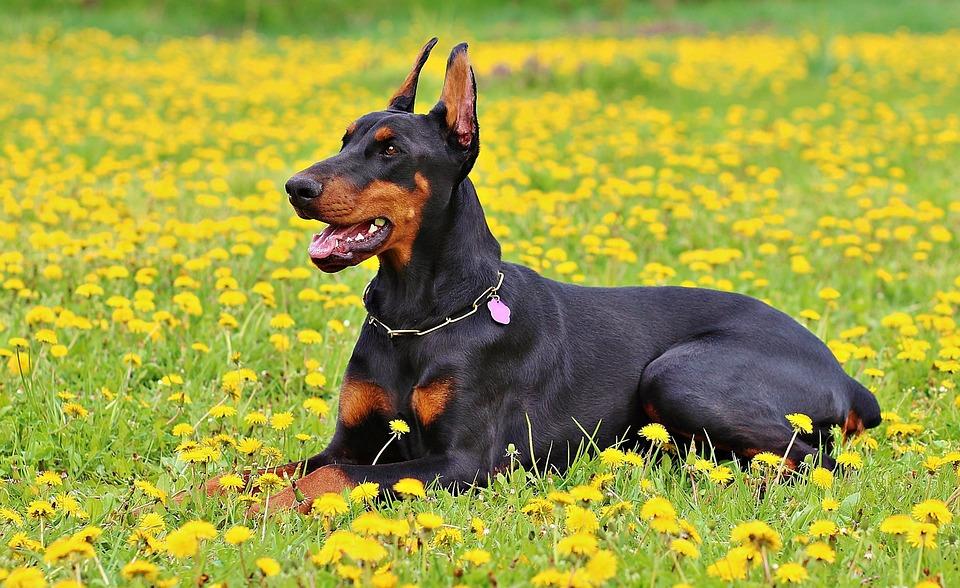 Dobermann : découvrez cette race de chien