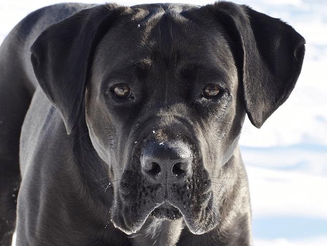 Cane Corso : découvrez cette race de chien