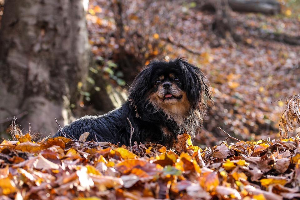 Epagneul du Tibet : découvrez cette race de chien