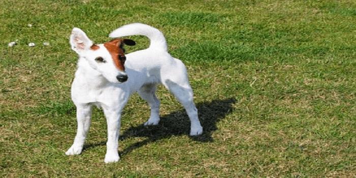 Fox Terrier : découvrez cette race de chien
