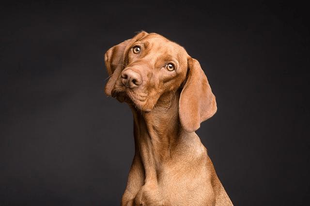 Beagle : découvrez cette race de chien