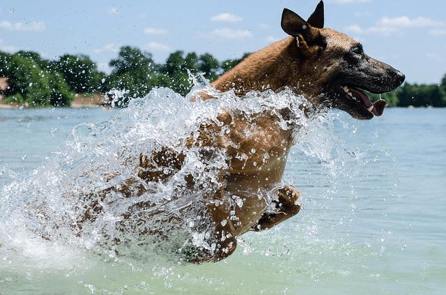 Berger belge : découvrez cette race de chien