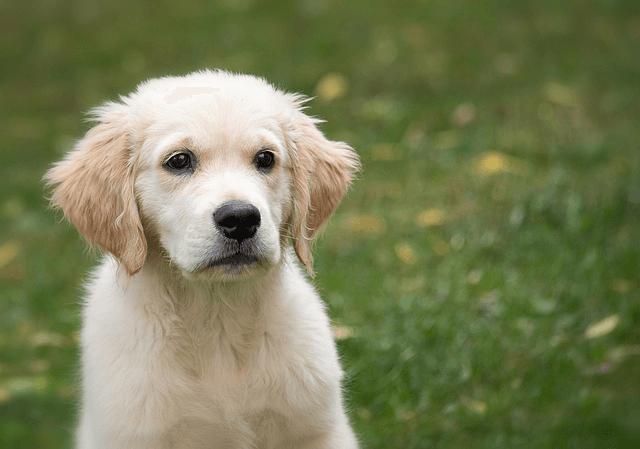 Golden retriever : découvrez cette race de chien