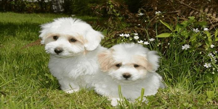 Coton de Tuléar : découvrez cette race de chien