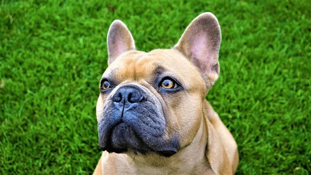Bouledogue francais : découvrez cette race de chien