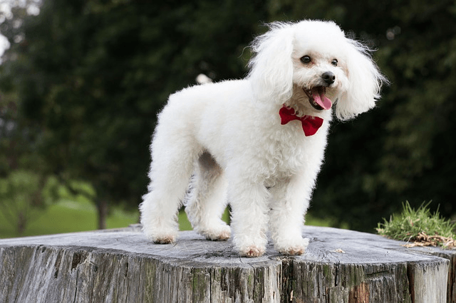 Caniche : découvrez cette race de chien